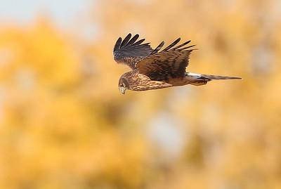 Harrier 3