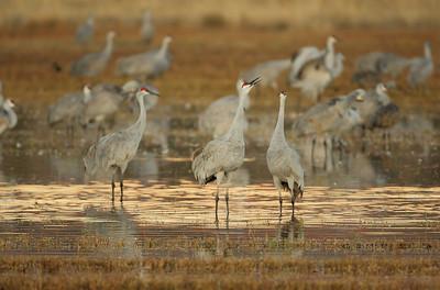 Sandhill Cranes 5