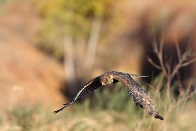 Northern Harrier 5