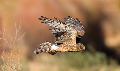 Northern Harrier 6