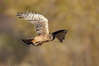 Northern Harrier 2