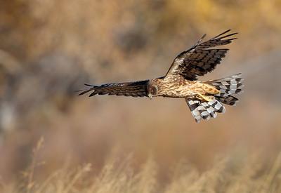 Northern Harrier 8