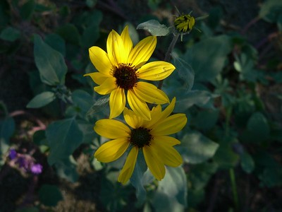 Borrego Springs Wildflowers 2-2005